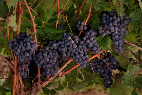 Grapes Niagara (17) W.jpg