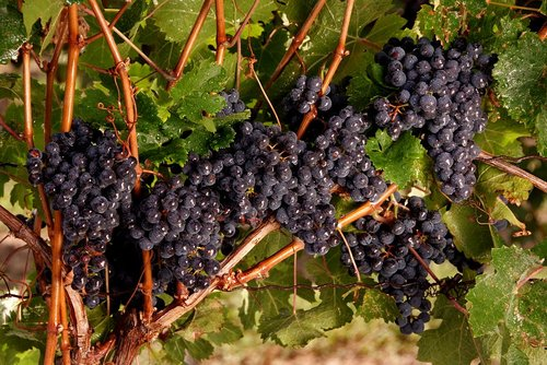 Grapes Niagara (18) W.jpg