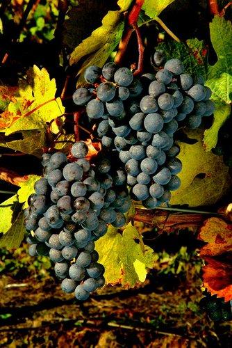 Grapes Niagara (6) W.jpg