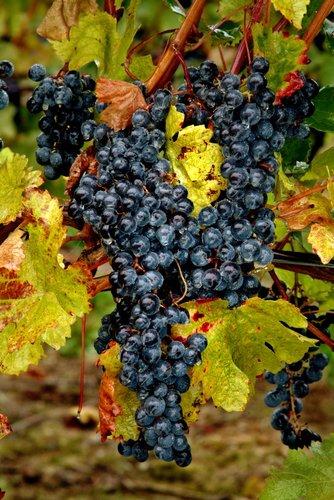 Grapes Niagara (7) W.jpg
