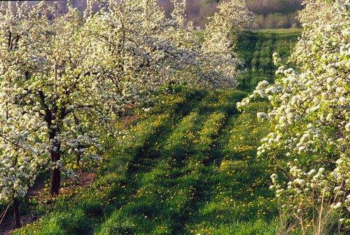 Orchard Niagara W.jpg