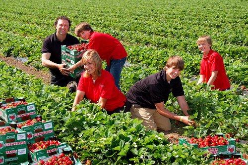 Strawberries Niagara 4204 W.jpg