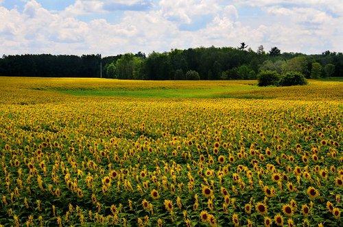 Sunflowers (2) W.jpg