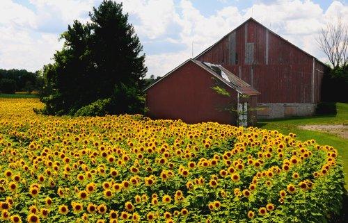 Sunflowers (3) W.jpg