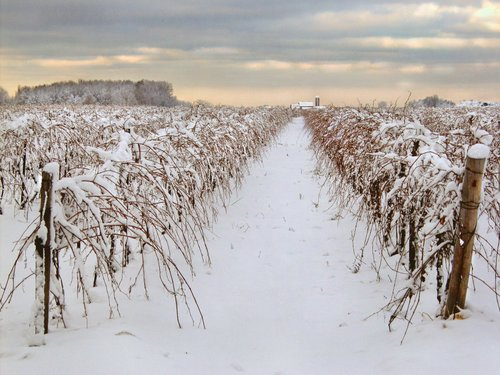 Winter Harvest Niagara B W.jpg