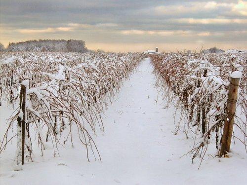 Winter Harvest Niagara B.jpg