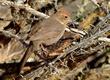 Chipping Sparrow - Spizella pazzerina.jpg