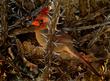 Female Cardinal - Cardinalis (3)(2).jpg