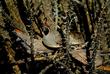 Gambels Quail-Callipepla gambelii (3)(1).jpg