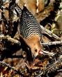 Gila Woodpecker - Melanerpes uropygialis  (3).jpg