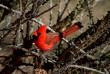Male Cardinal - Cardinalis Z.jpg
