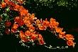Sonoma Mallow.jpg