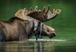 moose_01.jpg