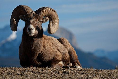 ©TC-Bighorn Ram-D00893-00001.jpg
