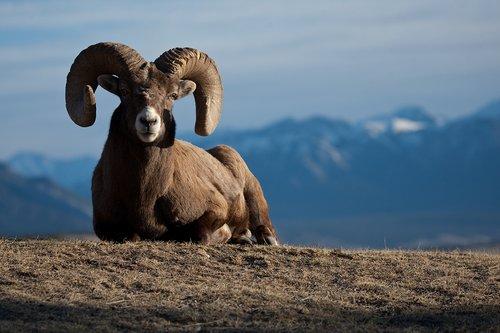 ©TC-Bighorn Ram-D00893-00002.jpg