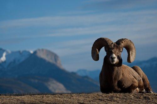 ©TC-Bighorn Ram-D00893-00008.jpg