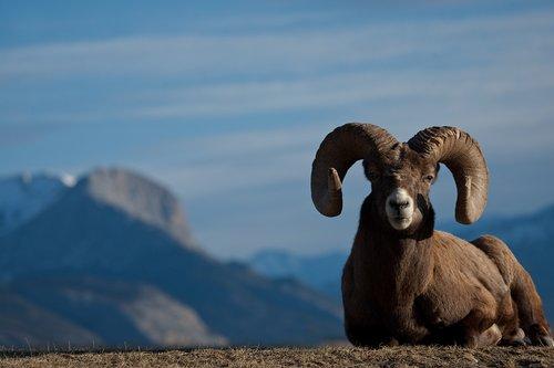 ©TC-Bighorn Ram-D00893-00011.jpg