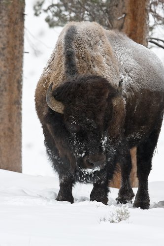 ©TC-Bison in Snow-D00064-00008.jpg