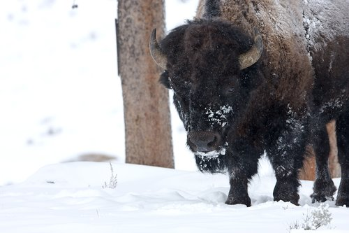 ©TC-Bison in Snow-D00064-00018.jpg