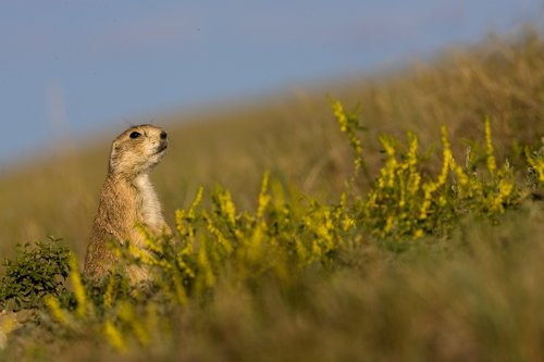 ©TC-Blacktailed Prairie Dog-D00755-00005.jpg