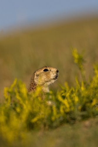 ©TC-Blacktailed Prairie Dog-D00755-00015.jpg