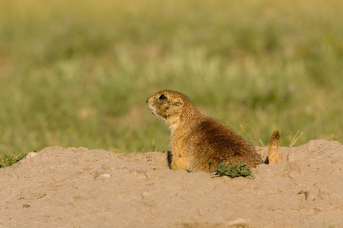 ©TC-Blacktailed Prairie Dog-D00755-00017.jpg