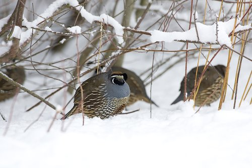 ©TC-California Quail-Snow-D00772-00001.jpg