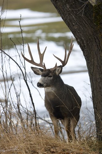 ©TC-Mule Deer Buck-Snow-D00190-00012.jpg