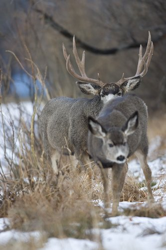 ©TC-Mule Deer Buck-Snow-D00190-00026.jpg
