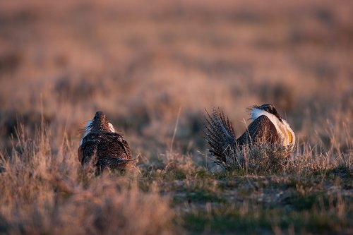 ©TC-Sage Grouse-D00432-00008.jpg