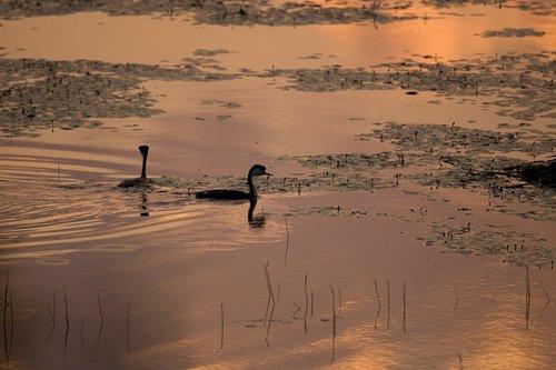 ©TC-Western Grebe-D00584-00005.jpg