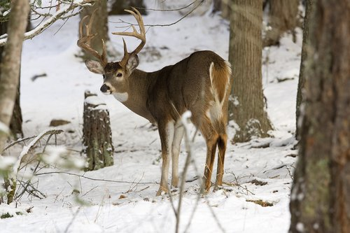 ©TC-Whitetail Bucks snow-D01088-00012.jpg