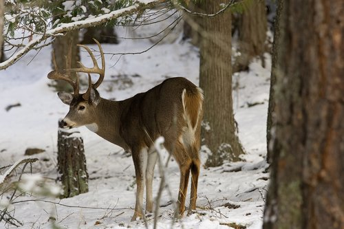 ©TC-Whitetail Bucks snow-D01088-00015.jpg