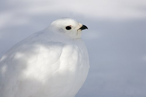 ©TC-Whitetail Ptarmigan (W)-D00765-00017.jpg