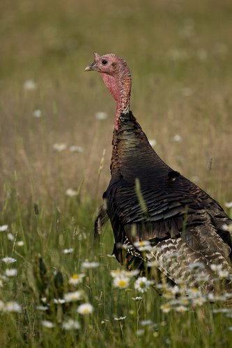©TC-Wild Turkey Summer-D00977-00001.jpg