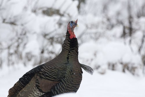 ©TC-Wild Turkey in Snow-D00980-00026.jpg