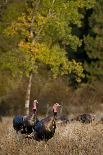 ©TC-Wild Turkeys Fall-D00983-00018.jpg