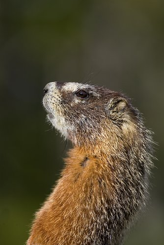 ©TC_Yellowbellied Marmot-D00600-101.jpg