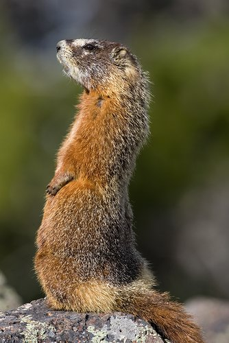 ©TC_Yellowbellied Marmot-D00600-105.jpg