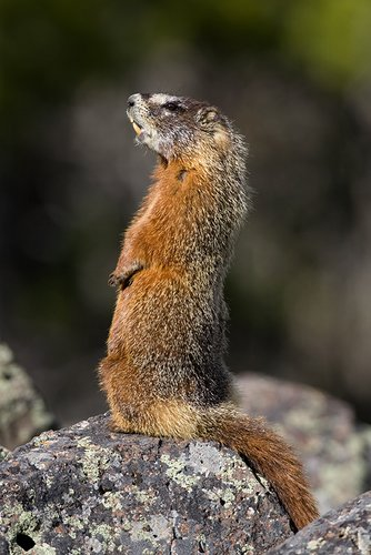 ©TC_Yellowbellied Marmot-D00600-114.jpg
