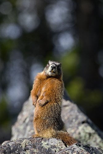 ©TC_Yellowbellied Marmot-D00600-118.jpg