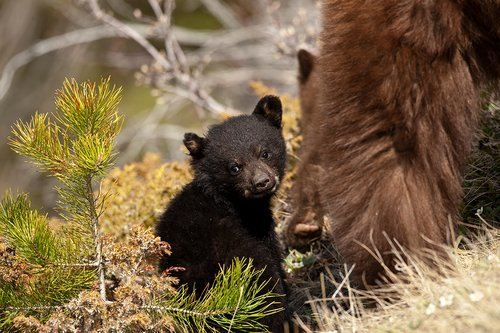 TC-Black Bear Cubs-D00049-00011.jpg