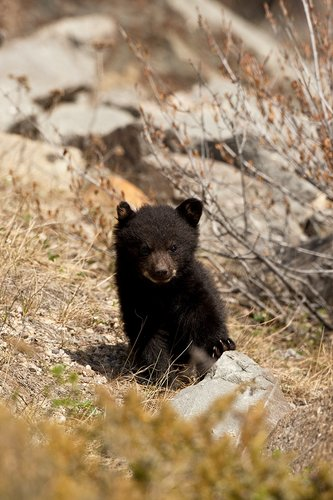 TC-Black Bear Cubs-D00049-00022.jpg