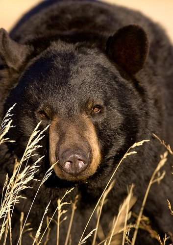 TC-Black Bear-D00048-00006.jpg