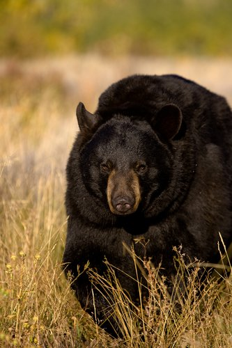 TC-Black Bear-D00048-00015.jpg