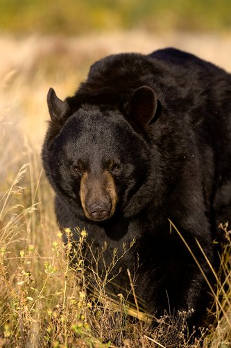 TC-Black Bear-D00048-00017.jpg