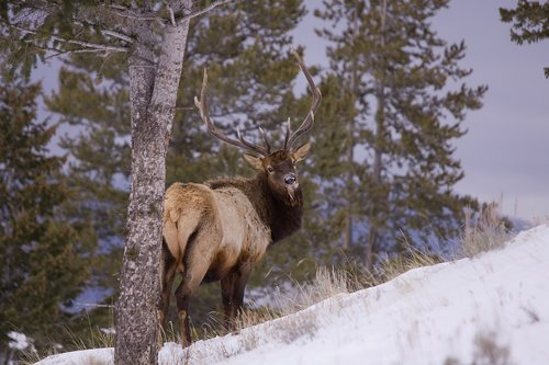 TC-Bull Elk in Snow-D00311-00005.jpg