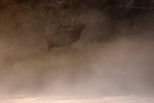 TC-Bull Elk-D00315-00005.jpg