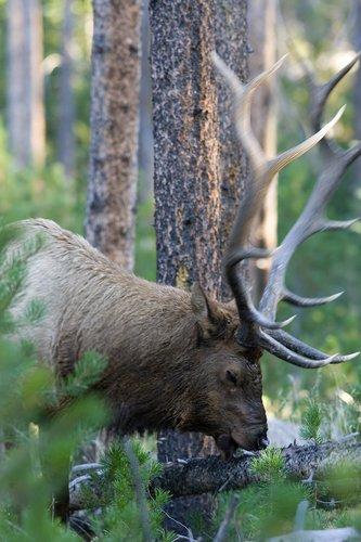 TC-Bull Elk-D00315-00006.jpg