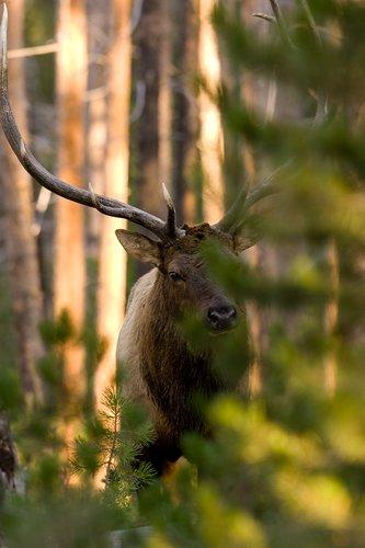 TC-Bull Elk-D00315-00011.jpg